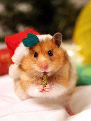 Hamster Santa